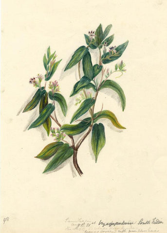 Elizabeth A. Thomas, Waterwillow Flower, India -1880 watercolour pencil painting