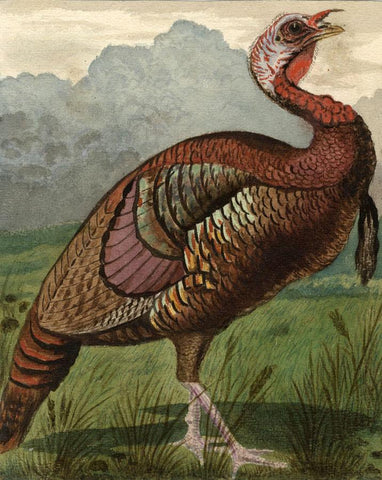 Wild American Turkey - Original late 19th-century watercolour painting