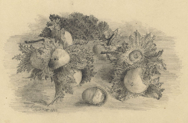 Adeline Frances Mary Dart, Cobnuts Still Life Study - 1862 graphite drawing