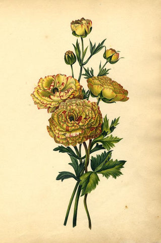 Thwaites, Yellow & Red Carnation Flower Study - 1814 watercolour painting