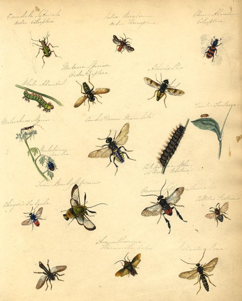 Thwaites, Insect Studies: Beetle, Wasp, Moth, Fly, Caterpillar - 1814 painting