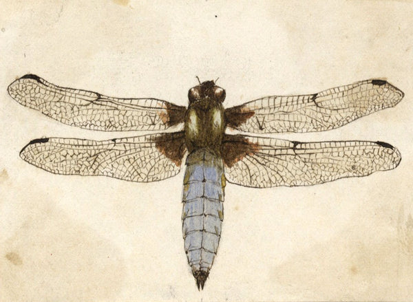 Albert A. Harcourt, Dragonfly Study - Original 19th-century watercolour painting