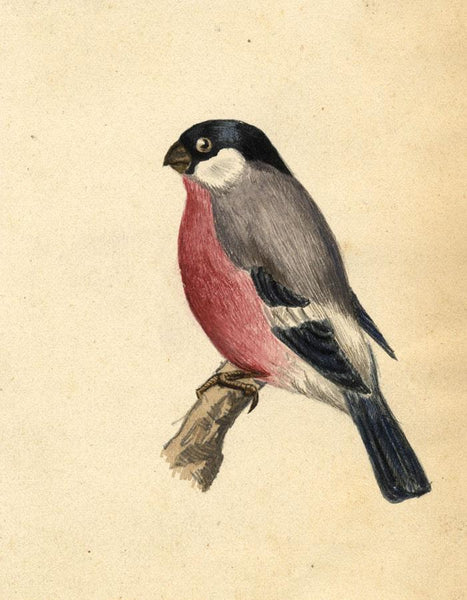 Albert A. Harcourt, Bullfinch Bird - Original 19th-century watercolour painting