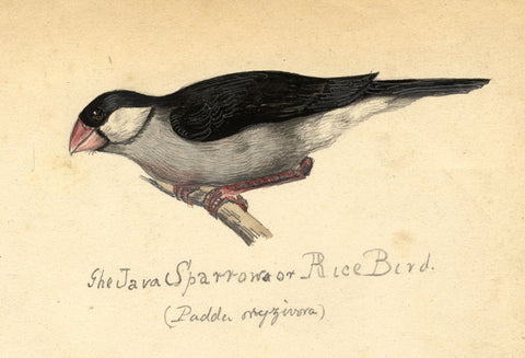 Albert A. Harcourt, Java Sparrow Bird - late 19th-century watercolour painting