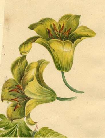 Thwaites, Yellow Lily Flower Study - Original 1814 watercolour painting