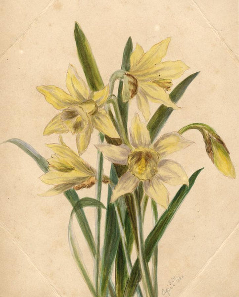 Adelaide L. Haslegrave, Narcissus Daffodil, London - 1880 watercolour painting