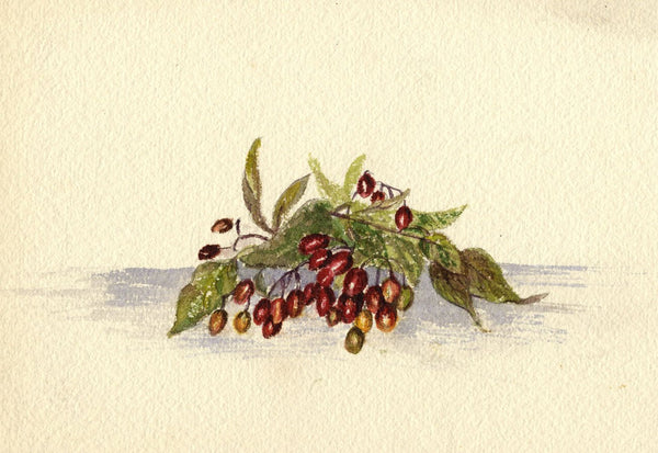 Adelaide L. Haslegrave, Bittersweet Nightshade Berries - 1880s watercolour