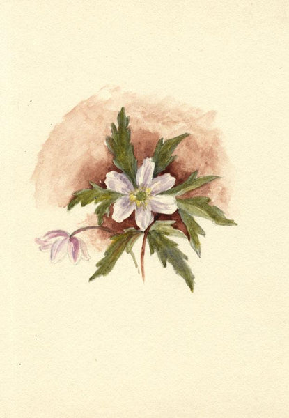 Adelaide L. Haslegrave, White Anemone Flower - 1880s watercolour painting