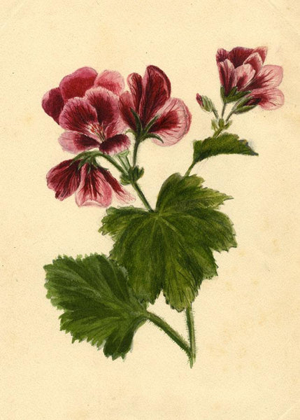 Adelaide L. Haslegrave, Geranium Flower, Bournemouth - 1880 watercolour painting