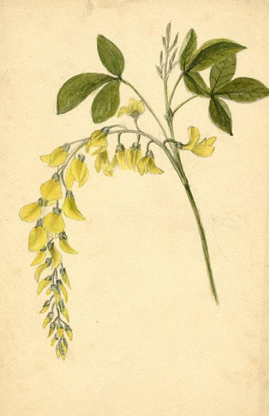 Adelaide L. Haslegrave, Laburnum Flowers - 1880s watercolour painting