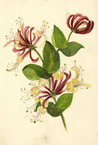 Adelaide L. Haslegrave, Honeysuckle Flowers - 1880s watercolour painting