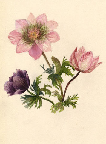 Adelaide L. Haslegrave, Pink Anemone Flowers - 1880s watercolour painting