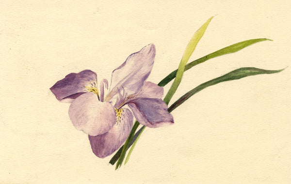 Adelaide L. Haslegrave, Iris Flower, Bournemouth - 1880 watercolour painting