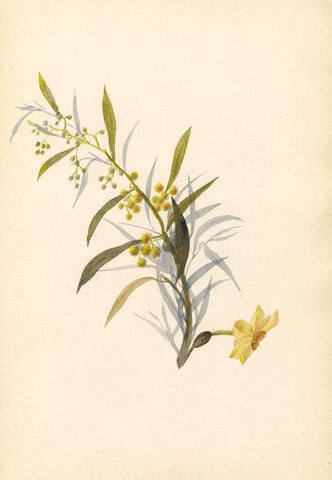 Adelaide L. Haslegrave, Yellow Mimosa Flower - 1880s watercolour painting