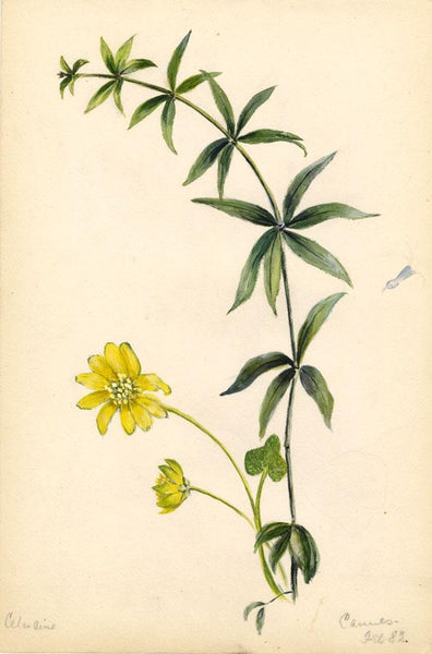 Adelaide L. Haslegrave, Celandine Flower, Cannes - 1882 watercolour painting
