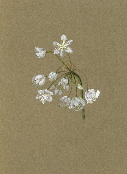 Adelaide L. Haslegrave, Garlic Flower, Cannes - 1882 watercolour painting