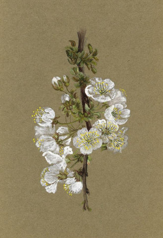 Adelaide L. Haslegrave, Wild Plum Flower Blossom - 1880s watercolour painting