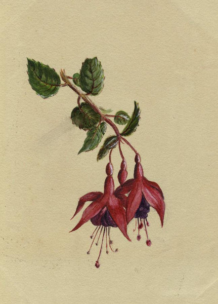 Adelaide L. Haslegrave, Fuchsia Flower - 1880 watercolour painting