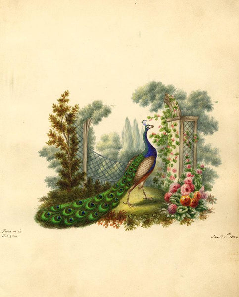 Peacock Bird in Ornamental Rose Garden - Original 1834 watercolour painting