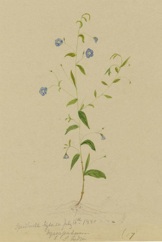 Elizabeth A. Thomas, Blue Speedwell Flower, India - 1880 watercolour painting