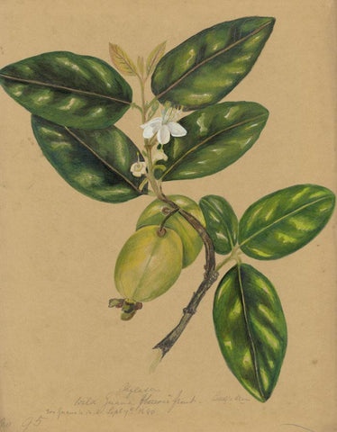 Elizabeth A. Thomas, Wild Guava Flowers, India - 1870s watercolour painting