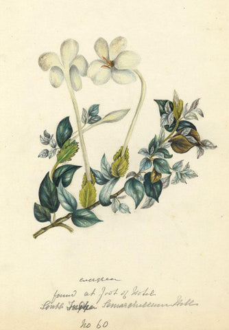 Elizabeth A. Thomas, South Indian Evergreen Flower - 1874 watercolour painting