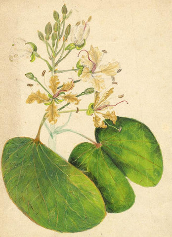 Elizabeth A. Thomas, Orchid Tree Flower, India - 1870s watercolour painting
