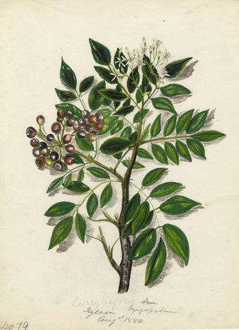 Elizabeth A. Thomas, Curry Leaf Tree in Flower, India -1880 watercolour painting