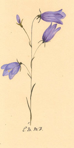 Elsie M. Dudley, Harebell Flower, Campanula - 1883 watercolour painting