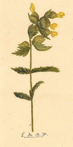 Elsie M. Dudley, Rattle Flower, Rhinanthus Minor - 1883 watercolour painting