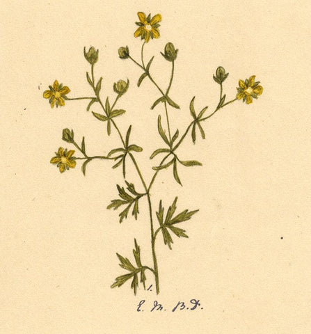 Elsie M. Dudley, Cinquefoil Flower Potentilla Reptans -1883 watercolour painting