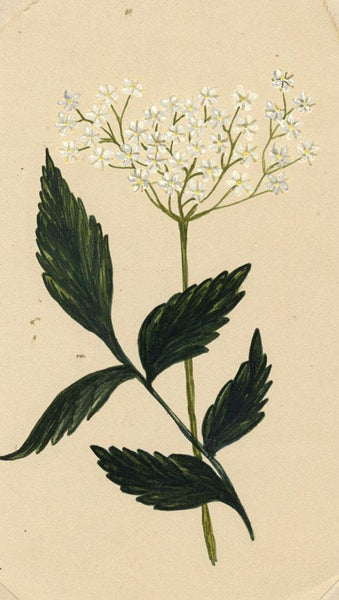 Elsie M. Dudley, Elder Flower, Sambucus Nigra - 1885 watercolour painting