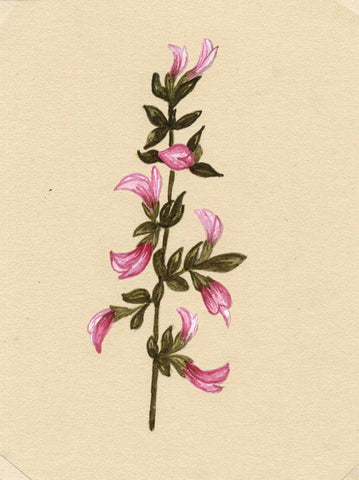 Elsie M. Dudley, Restharrow Flower, Ononis Arvensis - 1885 watercolour painting