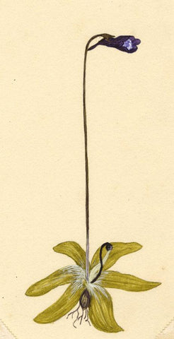Elsie M. Dudley, Butterwort Flower, Pinguicula - 1884 watercolour painting