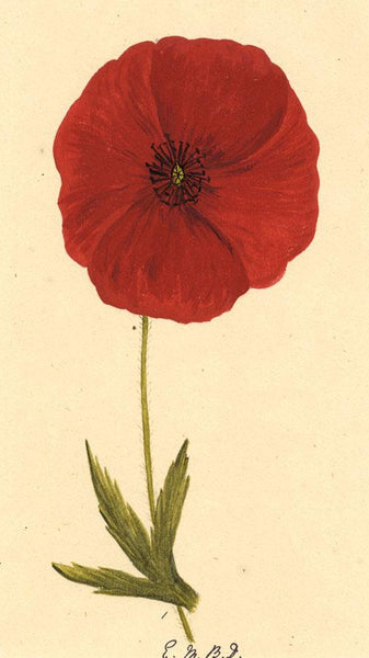 Elsie M. Dudley, Poppy Flower, Papaver Rhoeas - 1883 watercolour painting