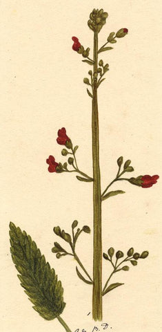 Elsie M. Dudley, Water Figwort Flower, Scrophularia - 1880s watercolour painting