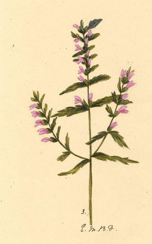 Elsie M. Dudley, Alpine Bell Flower, Alpine Bartsia - 1883 watercolour painting