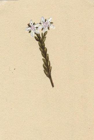 Elsie M. Dudley, White Stonecrop Flower, Sedum Alum - 1885 watercolour painting