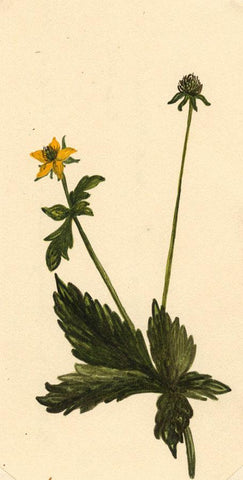 Elsie M. Dudley, Herb Bennet Flower, Geum Urbanum - 1885 watercolour painting