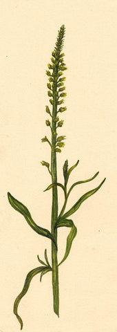 Elsie M. Dudley, Yellow Weed Flower, Reseda Luteola - 1885 watercolour painting