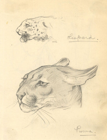 Kenneth E. Wootton, Puma & Leopard Cat Studies -c.1911 graphite drawing