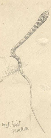 Kenneth E. Wootton, Snake Study, Natural History Museum -c.1911 graphite drawing