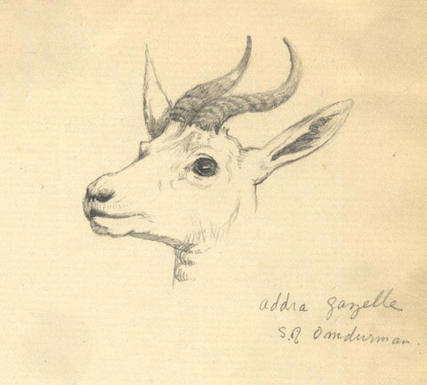 Kenneth E. Wootton, Sudanese Addra Gazelle Study -c.1911 graphite drawing