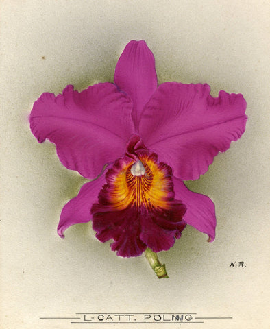 Nellie Roberts, L-Catt. Poling Orchid Flower - 1918/1939 watercolour painting