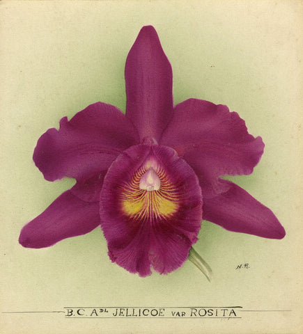 Nellie Roberts, BC Admiral Jellicoe var Rosita Orchid c1930 watercolour painting