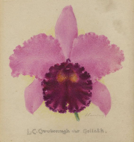Alphonse Goossens, LC Crowborough var Goliath Orchid - 1931 watercolour painting