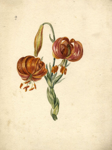 Turk's-cap Lily - Original early 19th-century watercolour painting