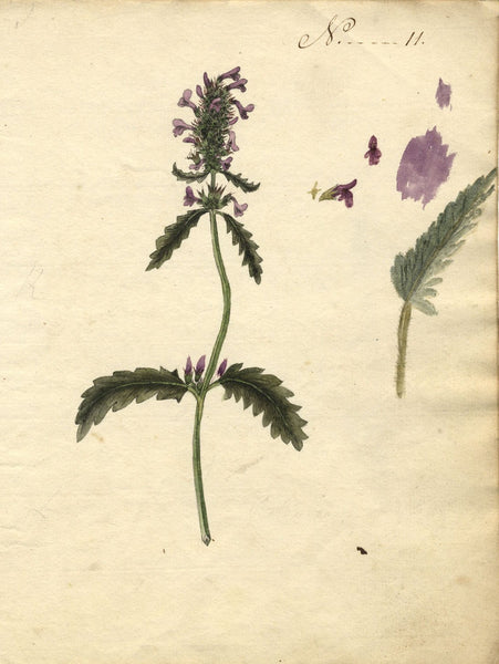 Charlotte Metcalfe, Common Hedgenettle Flower - 1818 watercolour painting