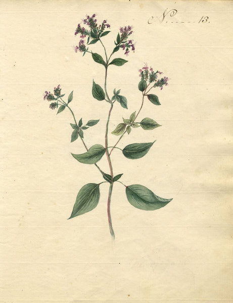 Charlotte Metcalfe, Marjoram Flower - Original 1818 watercolour painting