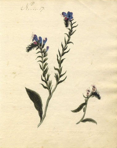 Charlotte Metcalfe, Viper's Bugloss Flower - Original 1818 watercolour painting